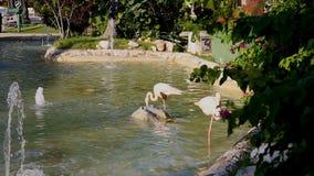 Due fenicotteri rosa in uno stagno del parco video d archivio