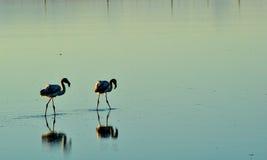 Due fenicotteri in uno stagno con la riflessione in acqua Fotografia Stock Libera da Diritti