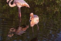 Due fenicotteri in uno stagno su Galapagos fotografia stock libera da diritti