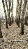 Due file dei pioppi formano un vicolo nel primo piano della foresta fotografia stock
