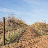 Due file delle viti in autunno fotografie stock