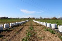 Due file molto lunghe di piccoli alberi piantati in grandi borse bianche pronte per la piantatura nel campo messo su protezione d fotografia stock libera da diritti