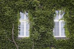 Due finestre e la vecchia parete coperte in edera va Fotografie Stock Libere da Diritti