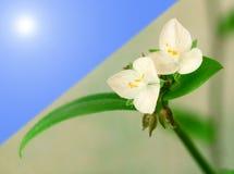 Due fiori bianchi Fotografia Stock