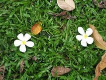 Due fiori bianchi Fotografia Stock Libera da Diritti