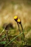 Due fiori del coltsfoot Immagini Stock Libere da Diritti