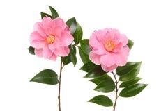 Due fiori della camelia fotografie stock
