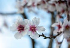Due fiori della mandorla. Immagini Stock