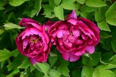 Due fiori della peonia sono pieni del rosa Immagini Stock Libere da Diritti