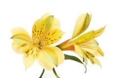 Due fiori di alstroemeria Fotografie Stock Libere da Diritti