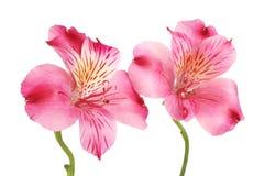 Due fiori di alstroemeria Fotografia Stock