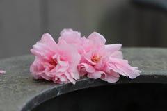 Due fiori di ciliegia immagine stock