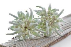 Due fiori di Edelweiss su una parte di legno Fotografia Stock