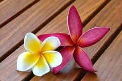 Due fiori di plumeria sul Decking del tek Immagine Stock