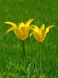 Due fiori gialli Fotografia Stock