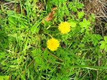 Due fiori gialli contro un fondo di erba verde Fotografia Stock Libera da Diritti