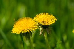 Due fiori gialli del dente di leone in erba verde Immagini Stock