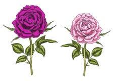 Due fiori rosa e porpora disegnati a mano della rosa isolati su fondo bianco Illustrazione botanica Fotografia Stock Libera da Diritti