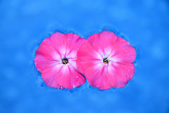 Due fiori rosa si sono ripiegati sull'acqua su un fondo blu Fotografia Stock Libera da Diritti