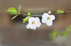 Due fiori sul ramo del ciliegio fotografia stock