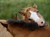 Due Foals Fotografie Stock