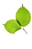 Due fogli verdi Fotografia Stock Libera da Diritti