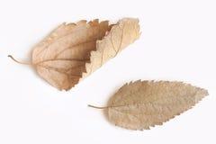 Due foglie asciutte isolate su fondo bianco Immagine Stock