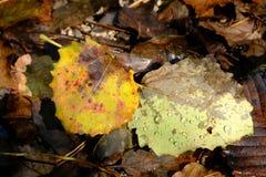 Due foglie cadute con le gocce di pioggia Fotografia Stock