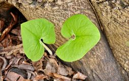 Due foglie da una pianta emergente dello zenzero selvaggio in parti anteriori Immagine Stock Libera da Diritti