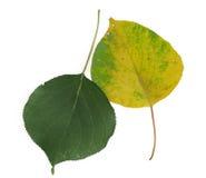 Due foglie dell'albicocca Fotografie Stock Libere da Diritti