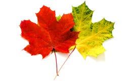Due foglie di acero Fotografie Stock