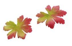 Due foglie di autunno bicolori variopinte Immagini Stock