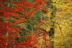 Due foglie di colore su un albero durante l'autunno Immagini Stock