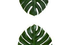 Due foglie di monstera isolate su bianco Fotografie Stock Libere da Diritti