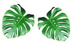 Due foglie di monstera isolate su fondo bianco immagini stock