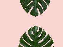 Due foglie di monstera isolate sul rosa Immagini Stock Libere da Diritti
