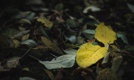 Due foglie gialle fra gli amici incolori fotografia stock libera da diritti