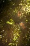 Due foglie rosse in sole si svasano in foresta profonda Fotografie Stock Libere da Diritti