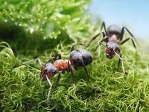 Due formica rufa delle formiche accendono Immagine Stock