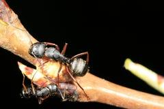 Due formiche del legno Fotografie Stock