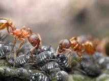 Due formiche rosse fotografie stock