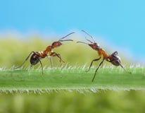 Due formiche, saluti su erba Fotografie Stock Libere da Diritti