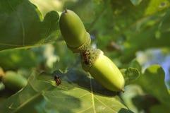 Due formiche sulla ghianda e sulla foglia della quercia Immagini Stock Libere da Diritti