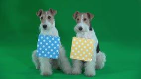 Due fox terrier tengono le borse del regalo in loro denti Schermo verde archivi video