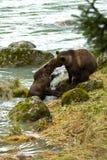 Due fratelli germani d'Alasca dell'orso bruno giocano il combattimento sulle banche del fiume di Chilkoot Immagini Stock Libere da Diritti