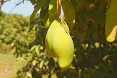 Due frutti verdi del mango sull'albero Fotografia Stock