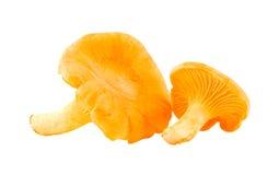 Due funghi del galletto. Immagini Stock