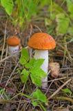 Due funghi della tremula fotografie stock