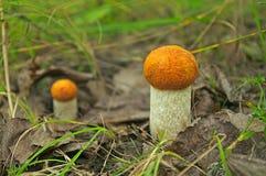 Due funghi della tremula fotografia stock libera da diritti