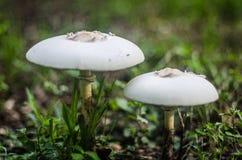 Due funghi in natura fotografia stock